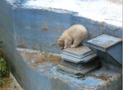 シロクマ 赤ちゃん