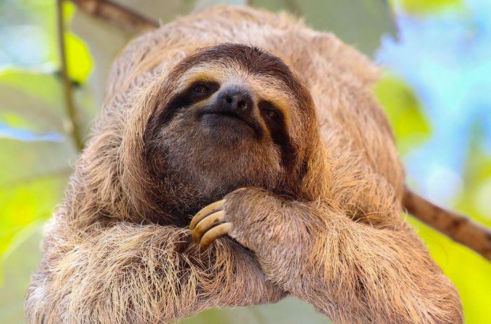 Ленивец. Живет на деревьях, весьма удачно мимикрируя: в его шерсти даже растет настоящий мох!