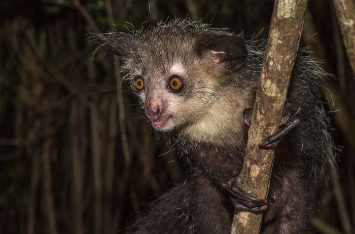 Мадагаскарская руконожка (ай-ай). Единственный представитель семейства руконожек, боковая ветвь лемуров. Страшная и очаровательная