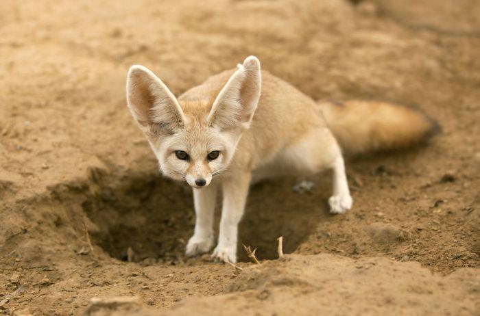 Фенек, пустынная лисица