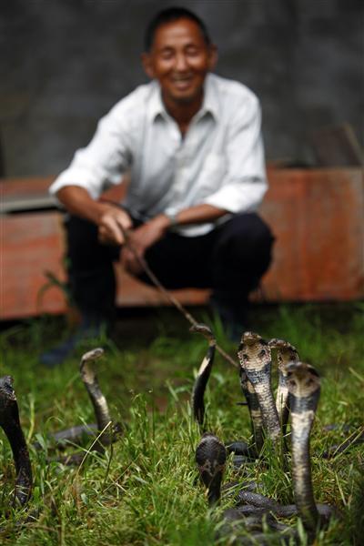 «Змеиный город» в Китае: как разводят и готовят ядовитых съедобных змей