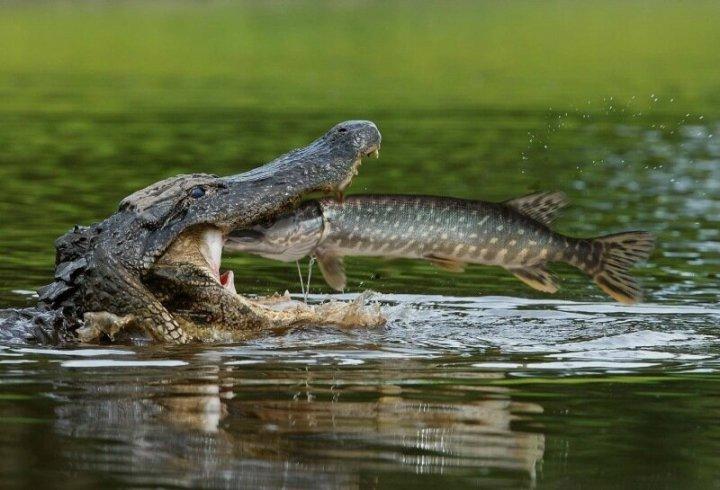 Крокодильи слезы: почему крокодил плачет и что это означает