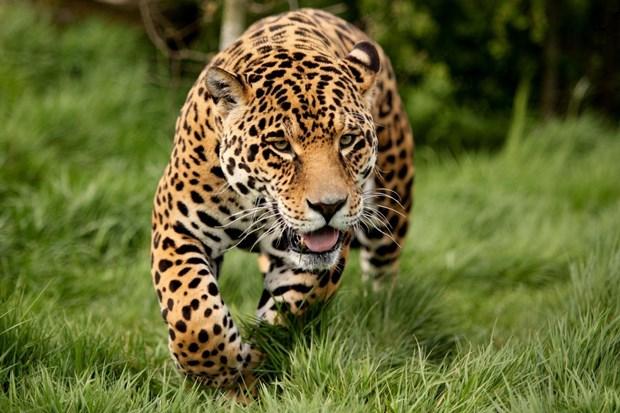 Ягуары принимают допинг для улучшения своих физических возможностей
