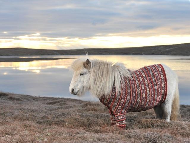 Очаровательные шотландские пони в свитерах