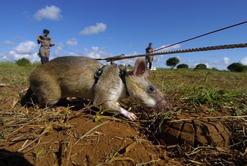 Мозамбик спасают крысы саперы
