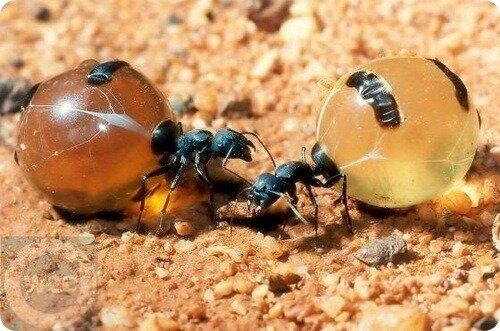 Медовые муравьи