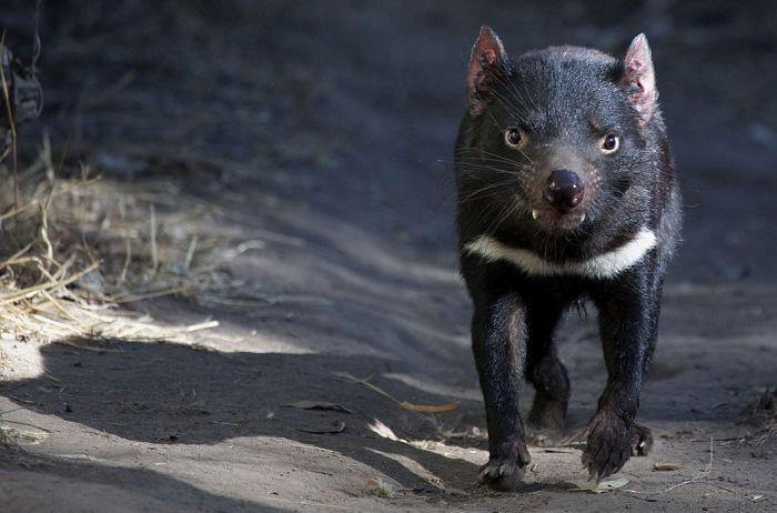 Тасманский дьявол. Свое прозвище заслужил со времен колонизации, передушив почти всех кур поселенцев — хоть и сумчатый, но хищник!