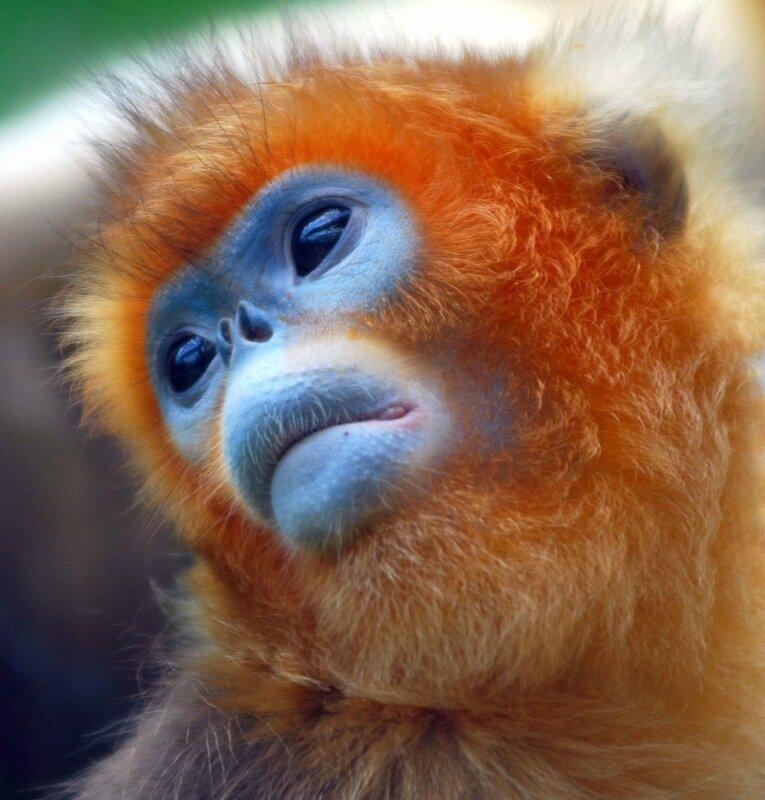 Золотые обезьянки: невероятно красивый вид обезьян со склонов вулкана Центральной Африки