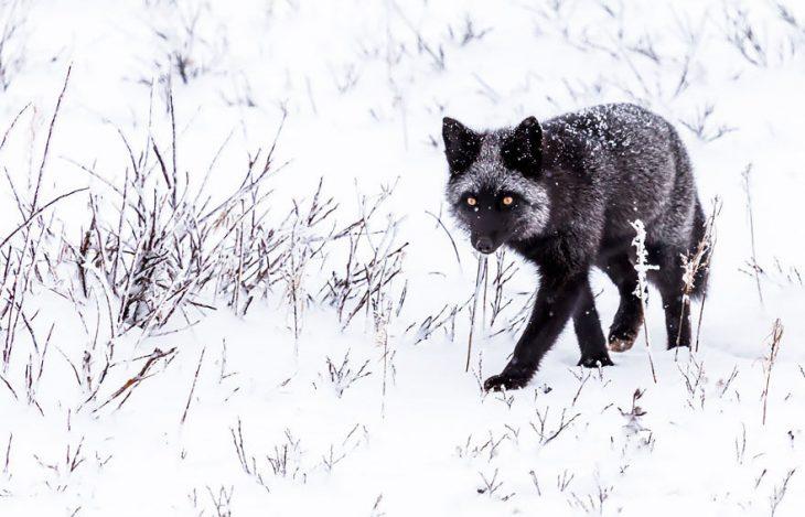 Это лиса или волк?