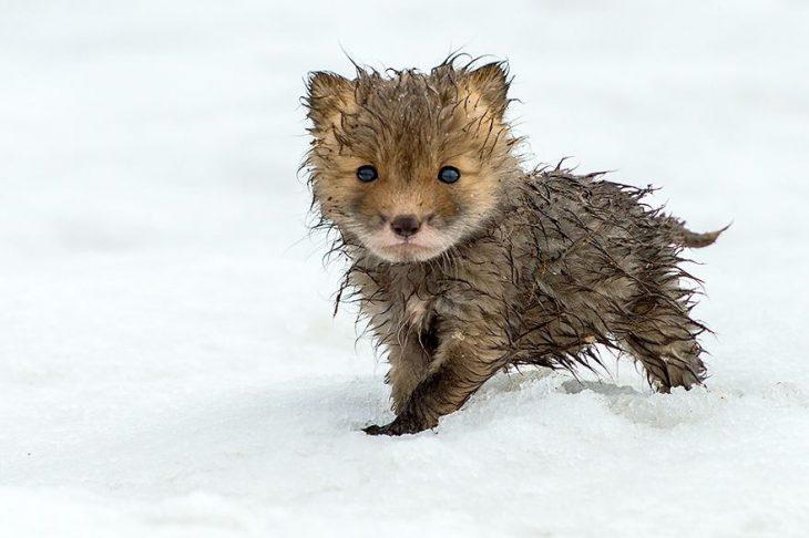 Маленький лисёнок где-то намок. Интересно, ему не холодно?