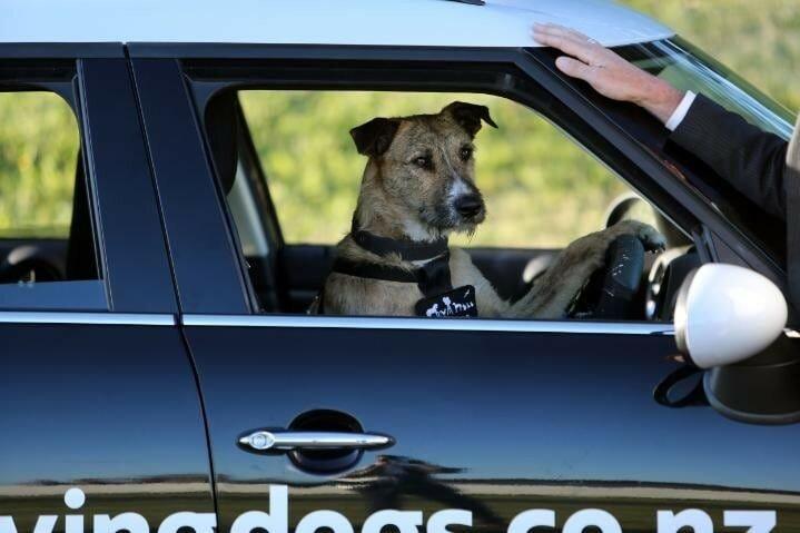 Как в Новой Зеландии открыли школу вождения для собак