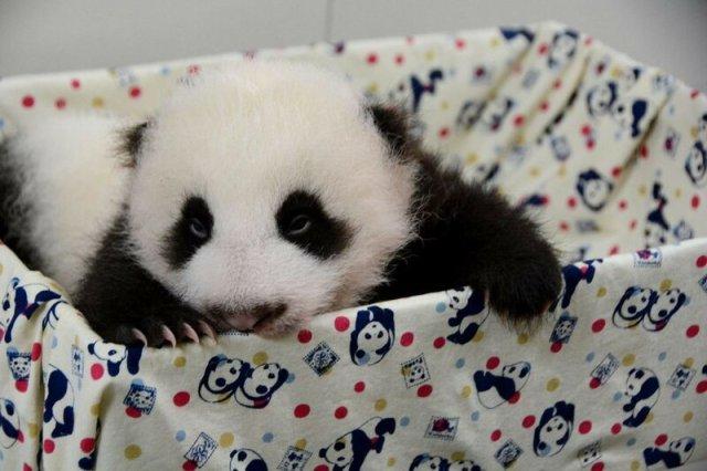Милая маленькая панда родилась в зоопарке на Тайване