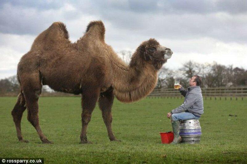 Верблюд Джеффри, который очень любит пиво и с удовольствием его пьёт