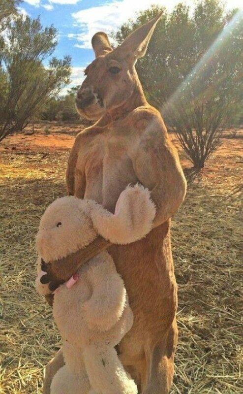 С кенгуру Роджером не стоит связывать даже профессиональным боксерам