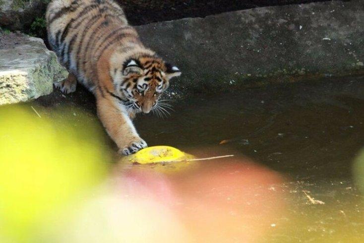 Как в Лондонском зоопарке утонул маленький тигренок