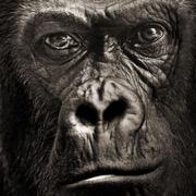 gorilla uyasi mashinasi bepul