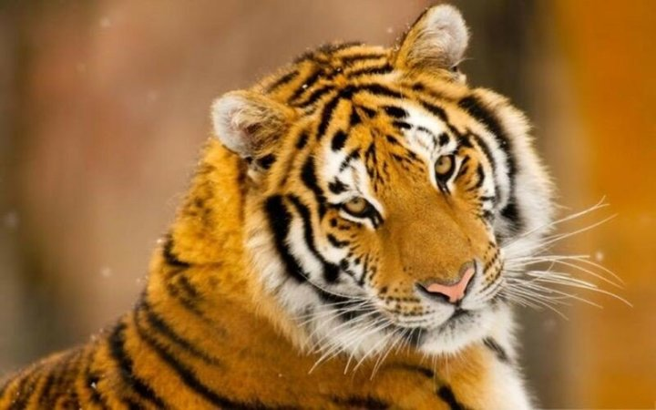 Мы этого не знали! 10 малоизвестных фактов о тиграх