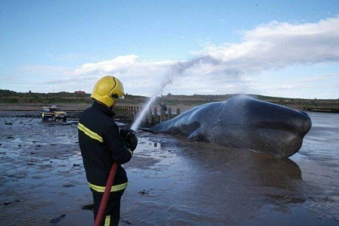 Ученые обвинили водоросли! Почему киты выбрасываются на берег