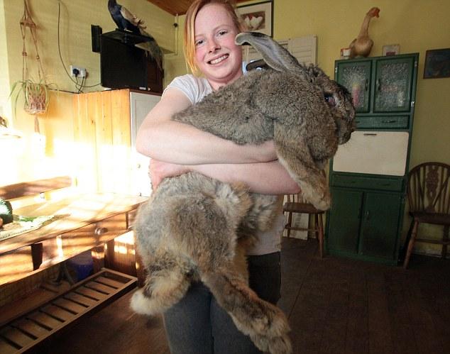 Симпатичный и пушистый… самый толстый кролик в мире