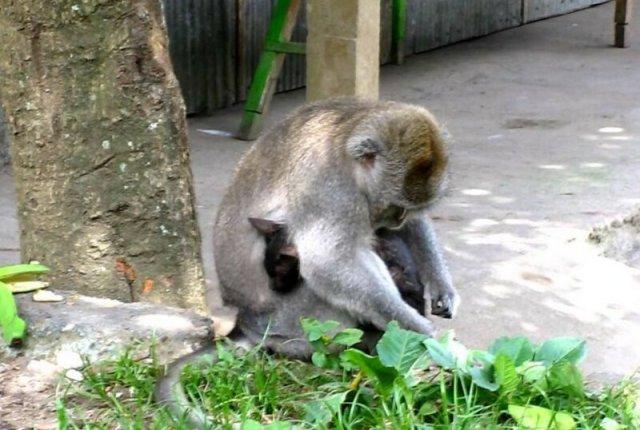 Видео, как бабуин усыновил котенка в израильском зоопарке