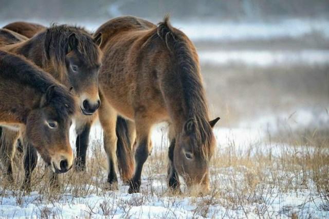 Как в Чувашии разводят пони: фото маленьких лошадок и Николая Николаева