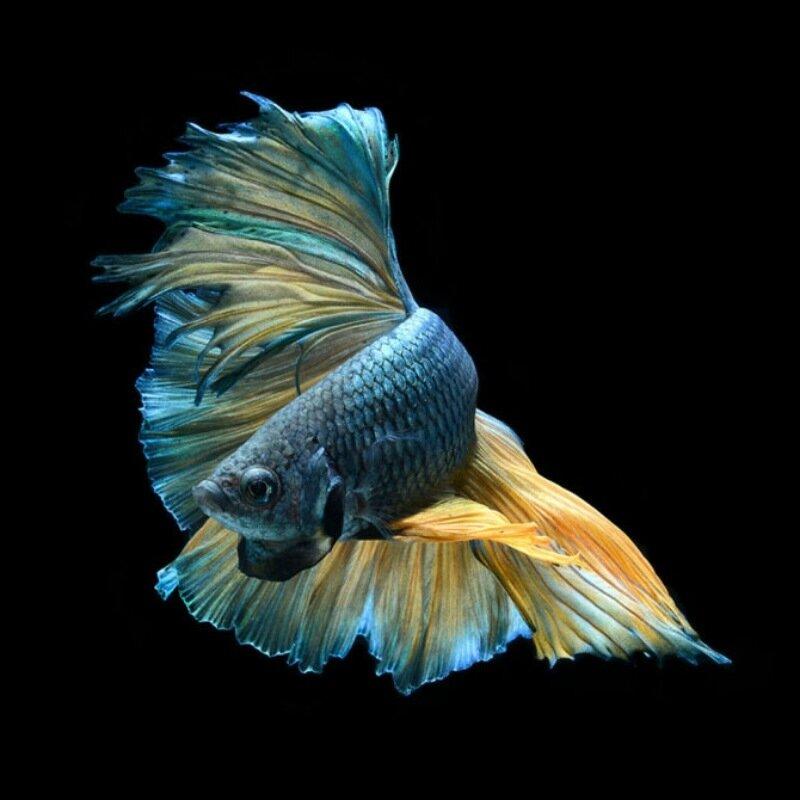 Красота и изящность аквариумных рыбок: 15 потрясающих фотографий