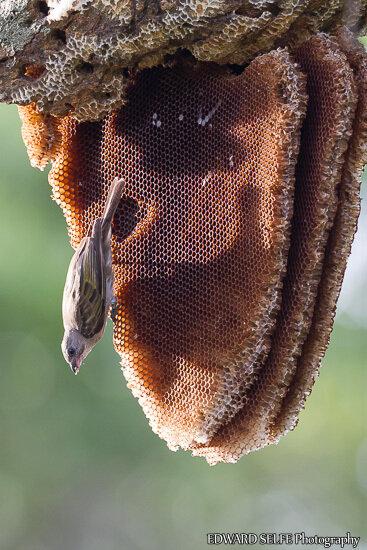 Медоуказчик. Кто крайний за мёдом?