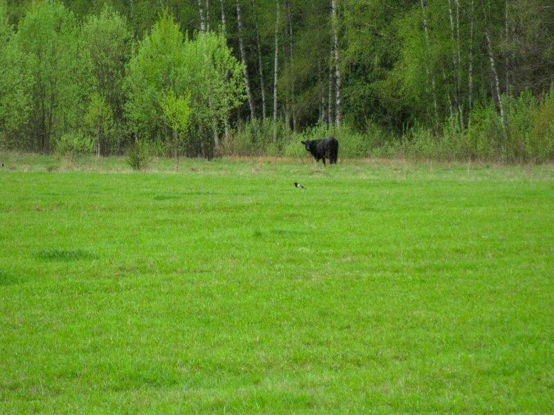 Корова и сорока