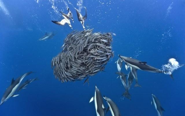 Дикая морская охота дельфинов и акул на скумбрий