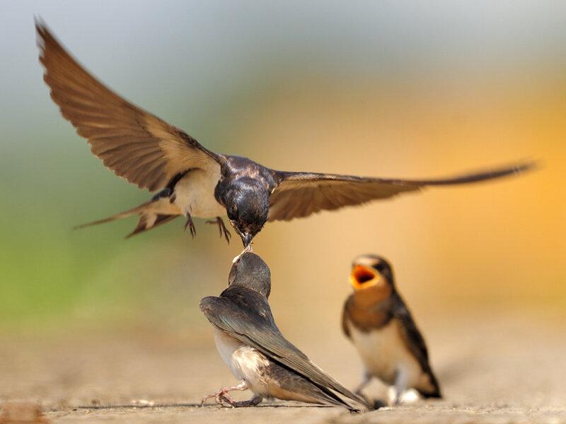 Кормление птенцов: 5 фото Дэвида Свифта и самые интересные факты о птицах
