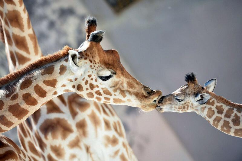 Малыш жираф Кенаи, родившийся 25 августа в зоопарке Ла-Флеш, Франция, целует свою маму Диони, 31 августа 2016 года. (Jean-Francois Monier / AFP / Getty)