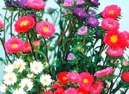 астра цветок засушить