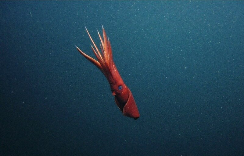 Видео: цветовые танцы гигантских кальмаров