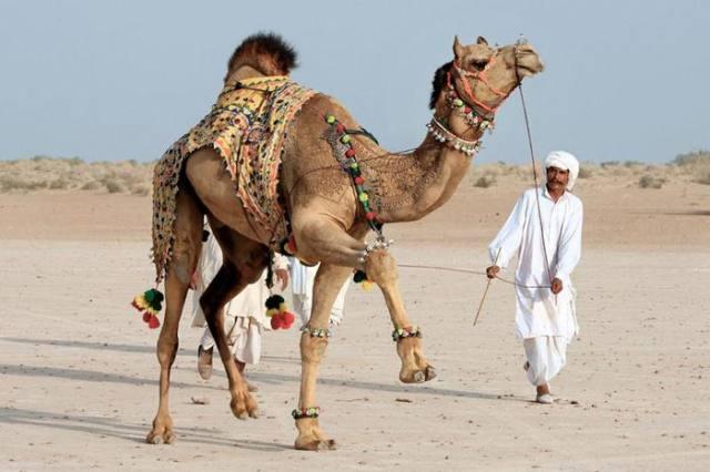 Прически верблюда и альпаки