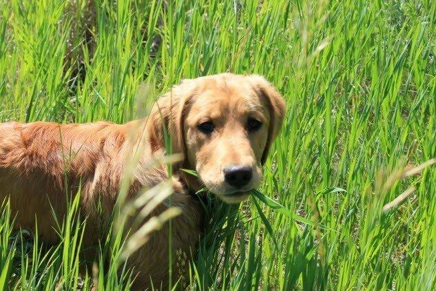 Собаки едят траву, когда нездоровы