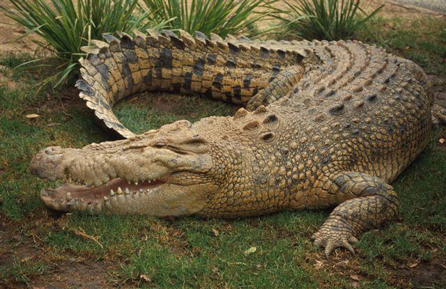 Как крокодил укусил за голову дрессировщика в Таиланде