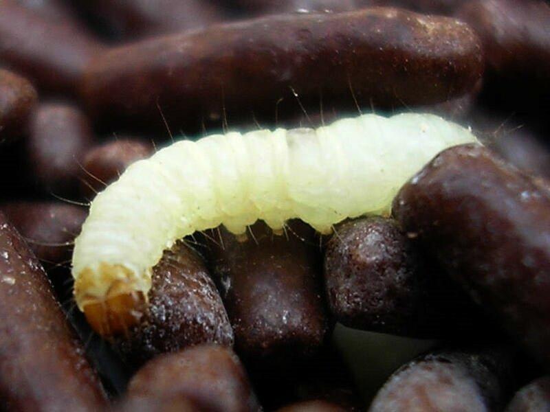 Черви, которые питаются пенопластом, помогут решить экологические проблемы
