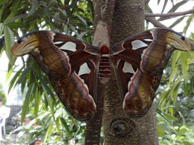 Самая большая в мире бабочка живет в Гималаях