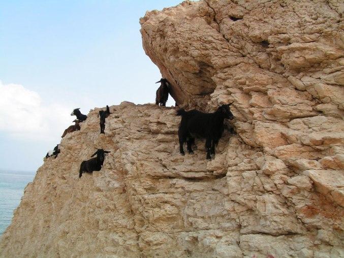 Фотографии невероятно бесстрашных горных козлов