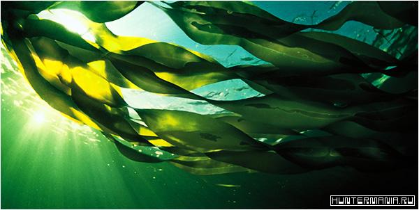 Чем полезны препараты из морских водорослей?