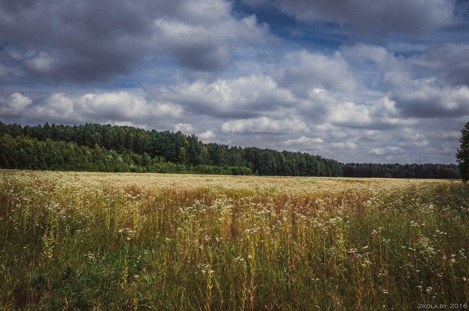 Ромашковое поле.