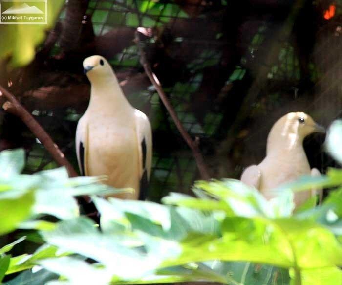 Белый биакский голубь