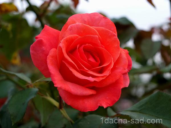 пахучие сорта роз
