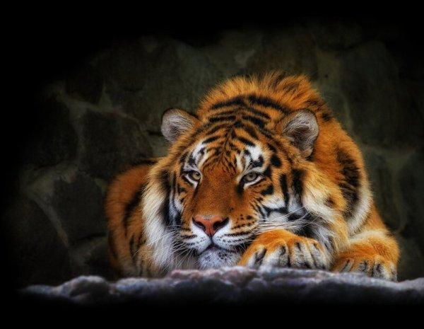 Обои на рабочий стол - Тигр. Обсуждение на LiveInternet ...