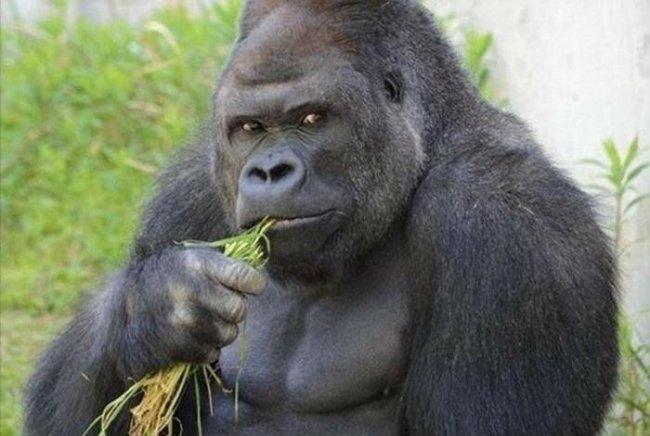 Японки влюбились в красивого самца гориллы: фото и видео мачо