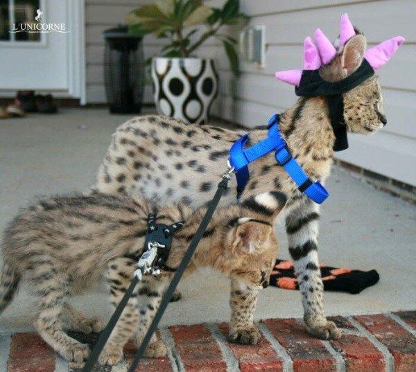 Самые редкие и дорогие кошки: kot_de_azur — LiveJournal