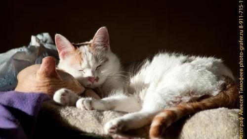 Сладкая парочка котов, Мерлин Мэнсон и Семен Семеныч, домашние животные, коты, кошки, кошачьи, животные, кот, кошка, фотограф животных