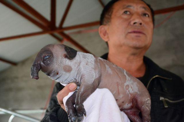 В Китае родился и умер слоненок поросенок