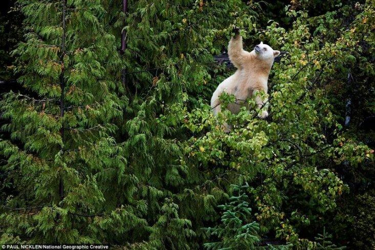 Кермодский медведь забрался на яблоню, чтобы добыть плоды. Естественные места обитания медведей стремительно исчезают из-за вырубки лесов и таяния ледников, поэтому их присутствие в дикой природе – это верный признак здоровой экосистемы.
