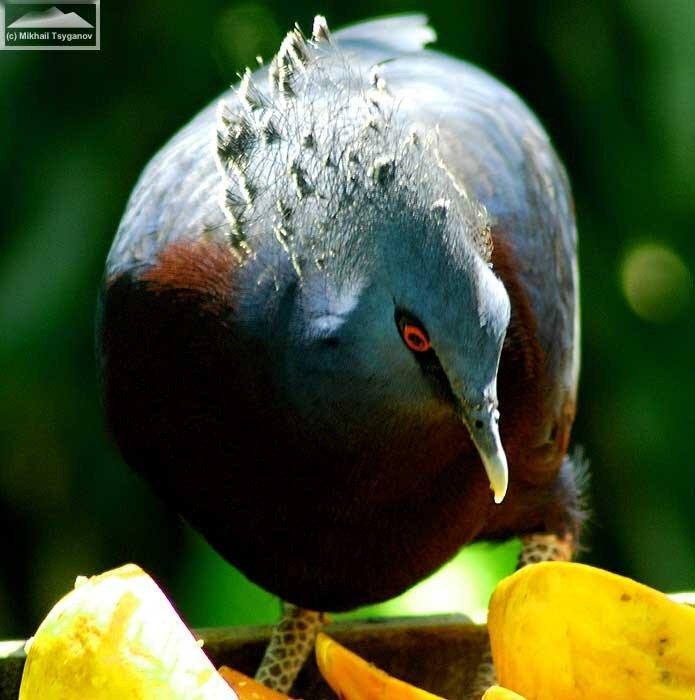 Венценосный голубь Виктории